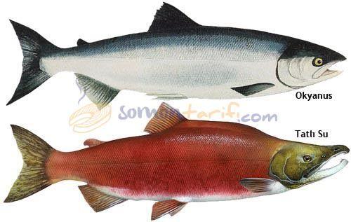 Pasifik Somonu - Kızıl Som Balığı