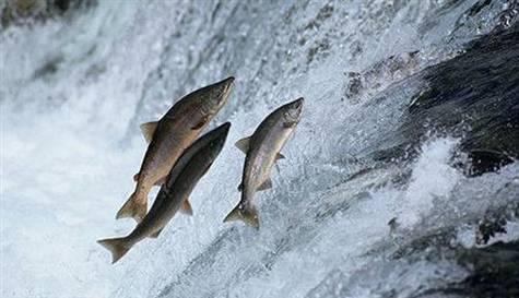 Somon balığı inanılmaz yolculuğu sırasında 3 metrelik şelaleleri dahi zıplayarak aşabilir.