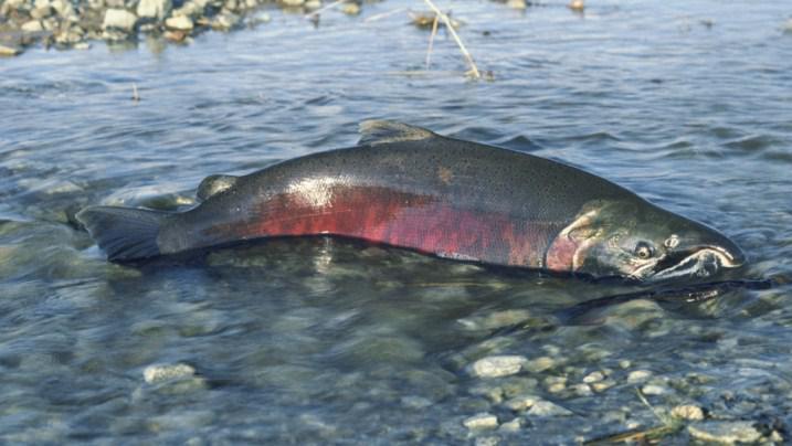 Somon Balığı Üremek İçin Nehirlerin İç Kısımlarına Kadar İlerler