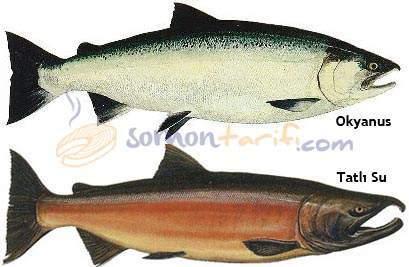 Pasifik Somonu - Gümüş Som Balığı