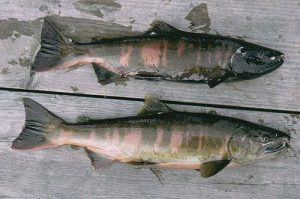 Pasifik Somonu - Japon Som Balığı