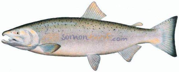Pasifik Somonu - Köpek Som Balığı