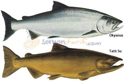 Pasifik Somonu - Kral Som Balığı