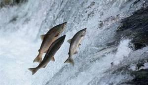 Somon Balığının İnanılmaz Yolculuğu