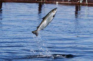Norveç'te Somon Balığı Üretimi