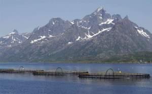 Norveç'te Somon Balığı Üretimi, Norveç Somonu