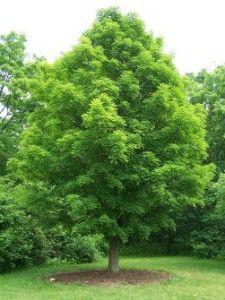 canadian maple tree